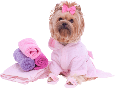 Grooming, brown Yorkie wearing a light pink bath robe with matching bath slippers and rolled towels to the right of the dog in a spa setting.