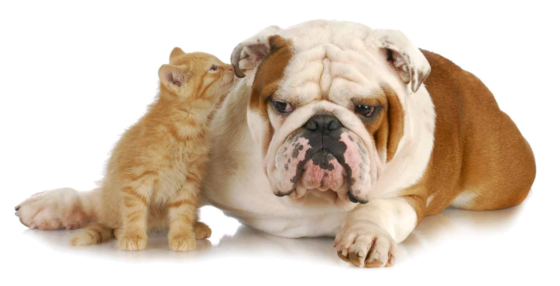 Cat whispering in the ear of an English bulldog