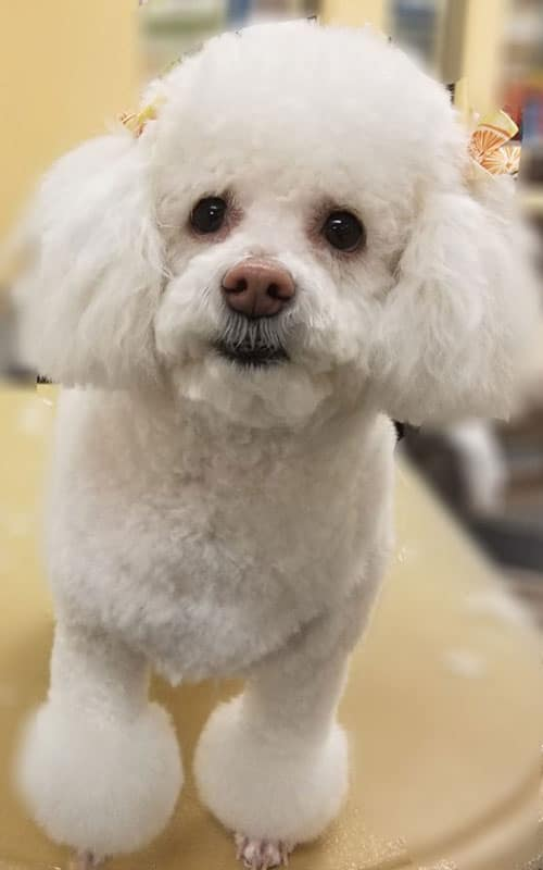 poodle after a pet grooming